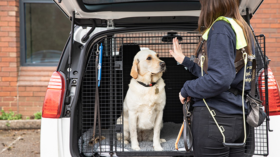 A guide dog sitting in a boot of a car for a GDT