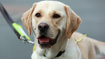 Close up of guide dog Hudson