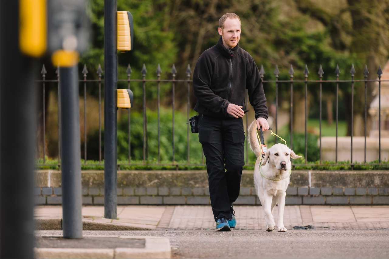 A trainer teaching a yellow lab how to cross the road