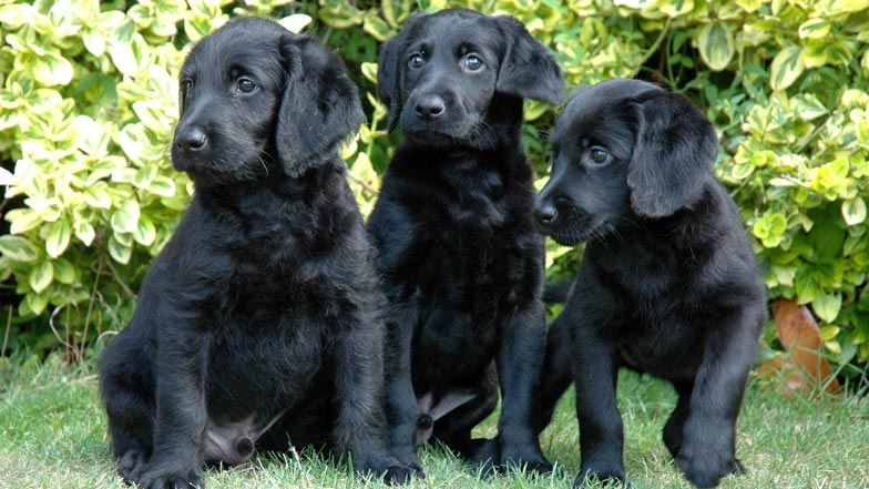 Three black labradoodle puppies sat on the grass together