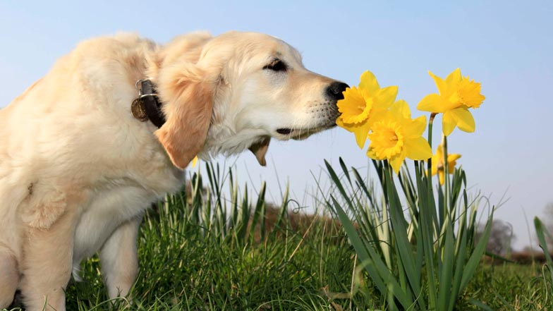 Puppy in spring smelling daffodils