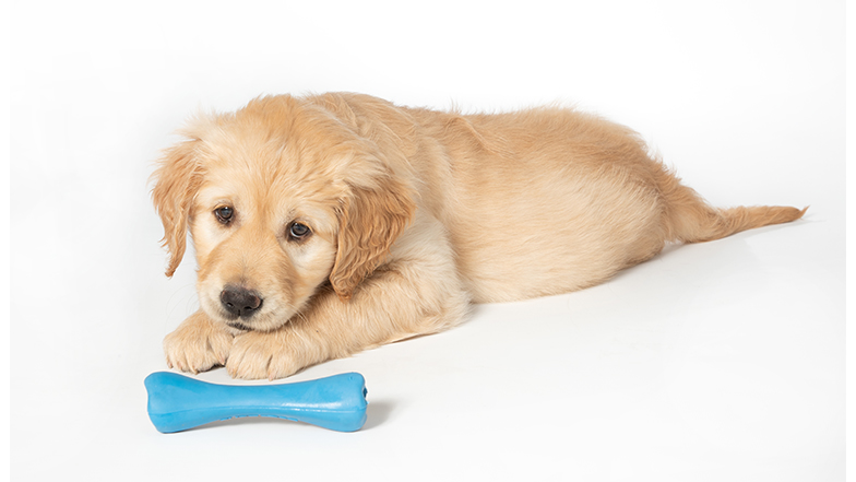 Guide dog puppy lies with a blue bone in front of him