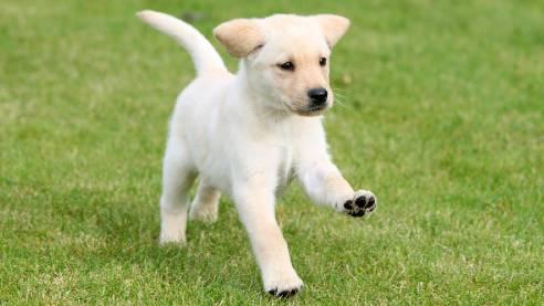 Guide dog puppy running across the grass