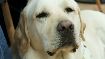 Close up of a guide dog resting