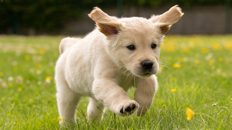 Guide dog puppy running on the grass towards camera