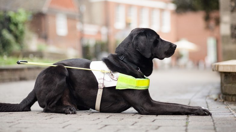A black labrador in a harness is sat on the pavement