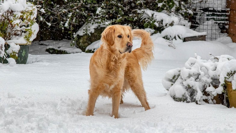 Rehomed guide dog Reggie in the snow