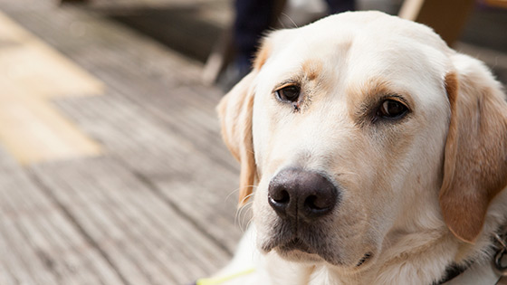 Rehomed golden Labrador, Monty, laying down