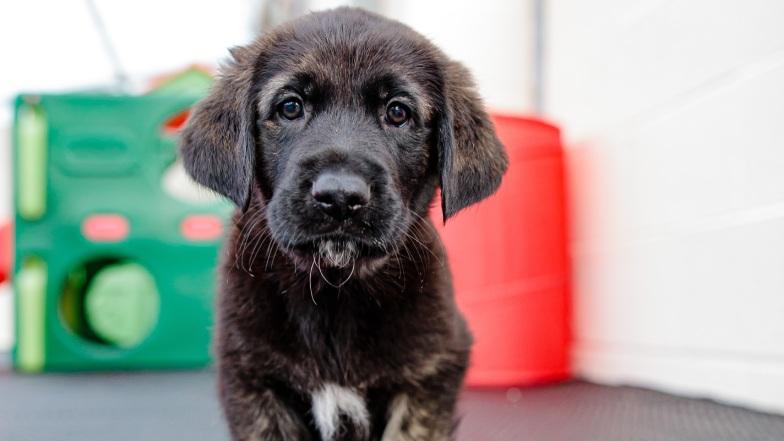 German Shepherd Puppy Daley