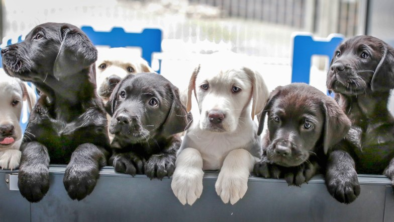 Group of Guide Dog puppies at the Guide Dogs Breeding Centre