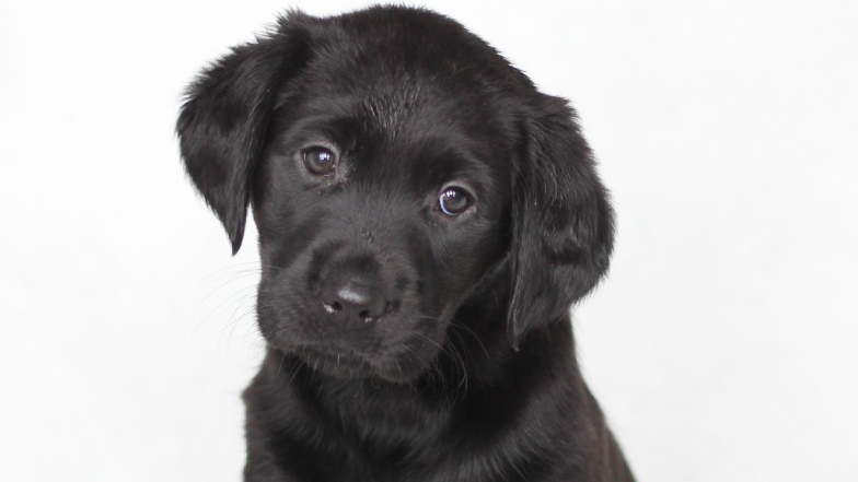 Name a Puppy black lab Annie headshot