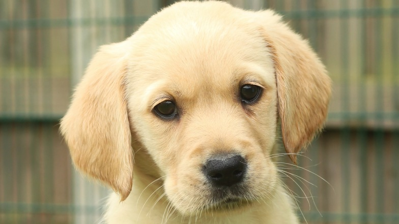 Name a Puppy yellow lab Geri close up