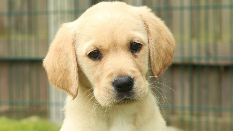Name a Puppy yellow lab Geri headshot
