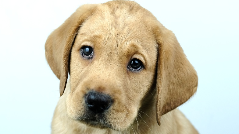 Name a Puppy dark yellow lab Rocky close up