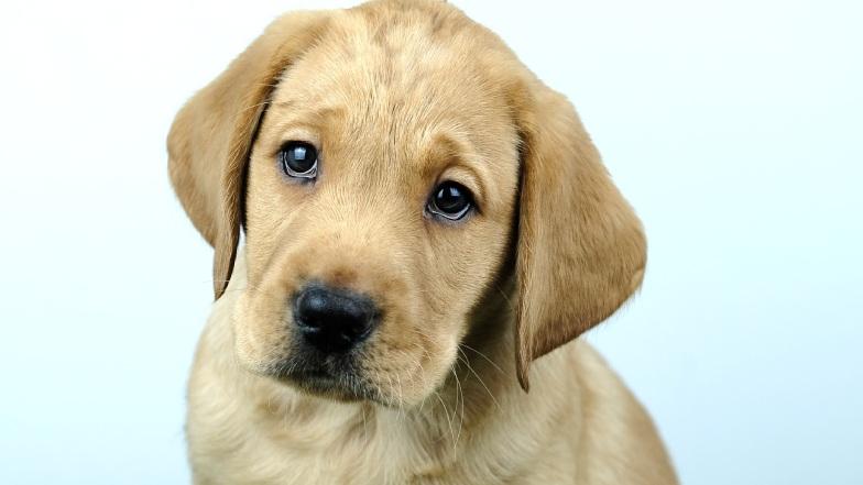 Name a Puppy dark yellow lab Rocky headshot