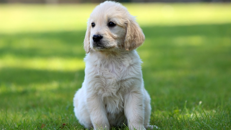Yellow retriever puppy sat on the grass looking to the left