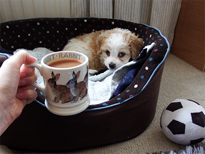 Puppy Merlin sits in bed looking at a cup of tea