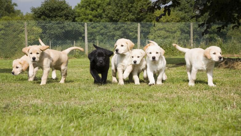 Lots of puppies playing in a field