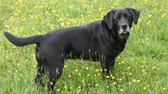 Rehomed black Labrador Velvet in a field