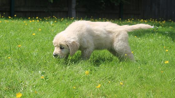 A golden retriever puppy walking through thick grass