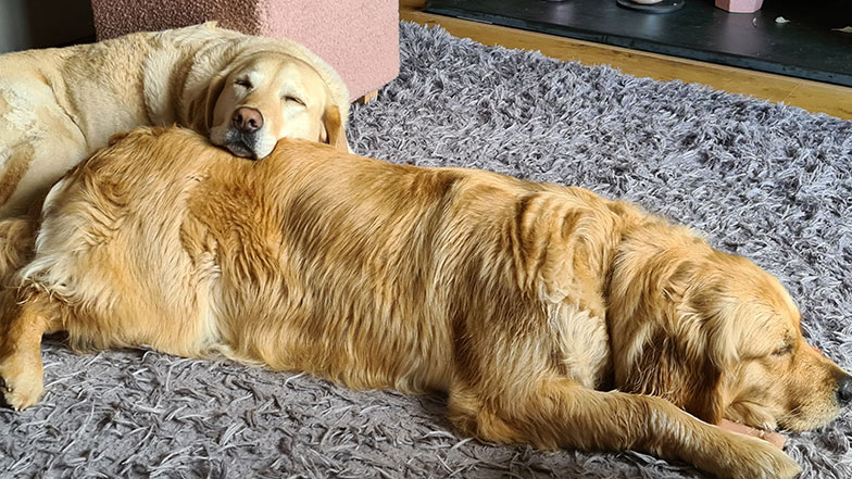 Two golden retrievers sleeping on the floor together