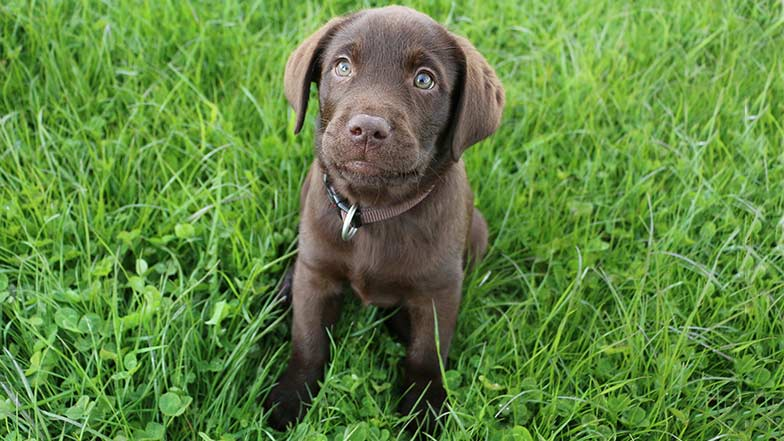 Guide Dog puppy sitting on grass