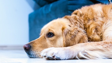 A golden retriever rests its head on the floor