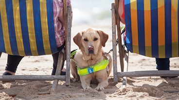 A guide dog sitting between two deckchairs on the beach