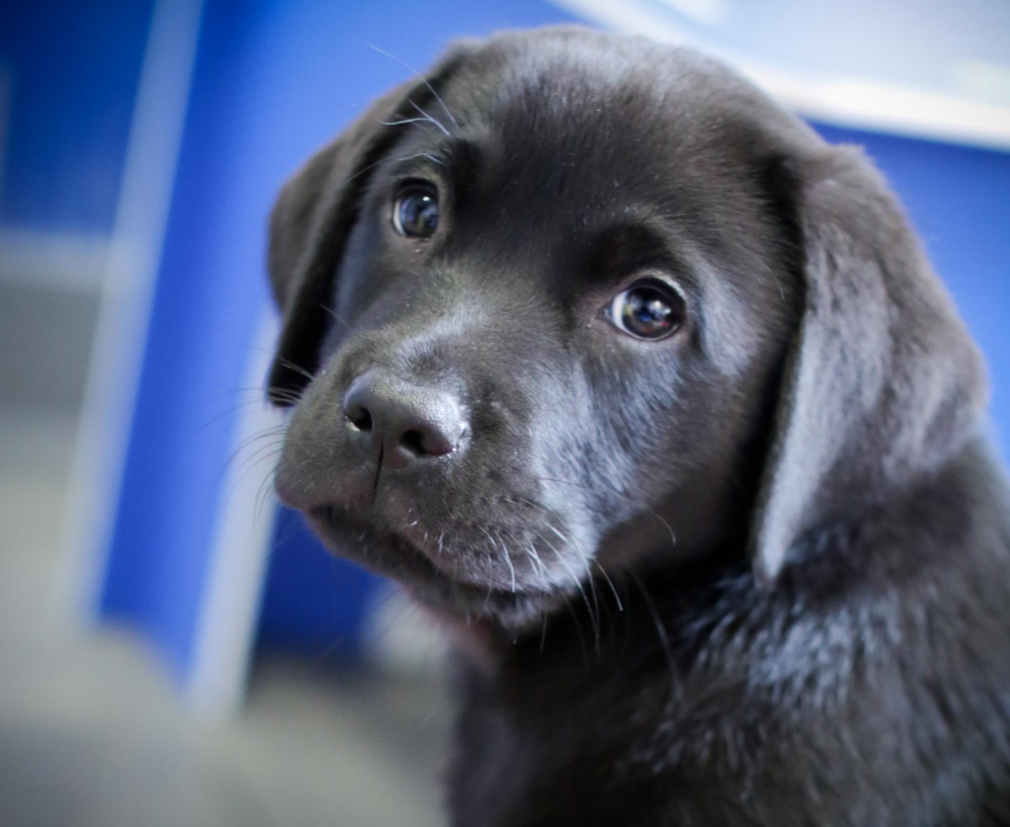 Black Labrador puppy look to camera