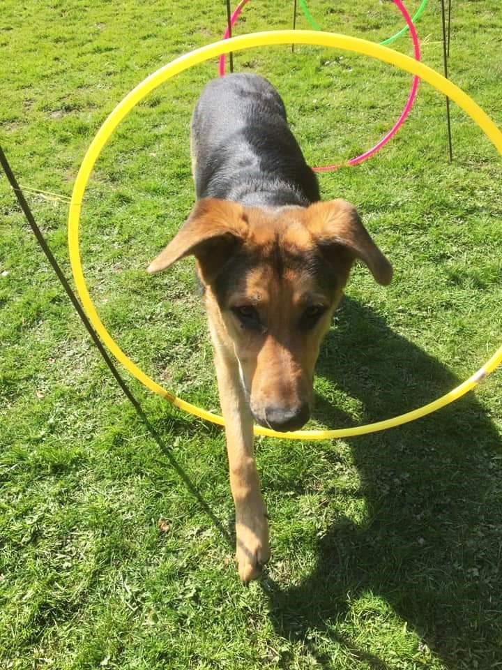 Puppy walks through a hoop