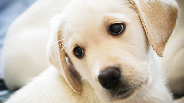 Yellow labrador puppy looks over shoulder