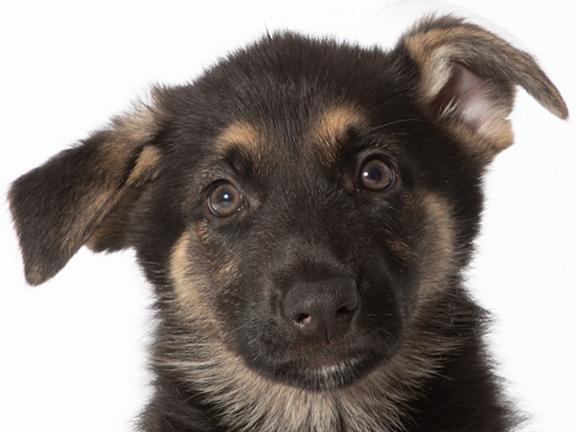 Headshot of German shepherd Lily