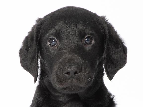Headshot of black curly coated retriever/Labrador cross Lola