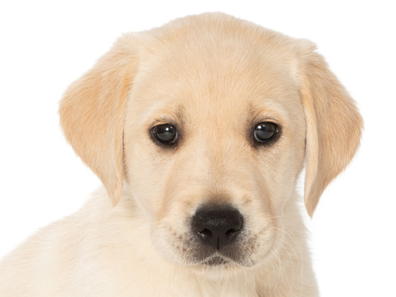 Headshot of guide dog puppy Derek a golden retriever Labrador cross
