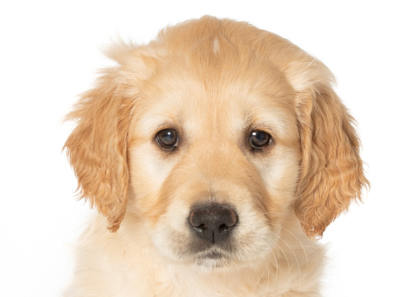 Headshot of guide dog puppy Judy a golden retriever