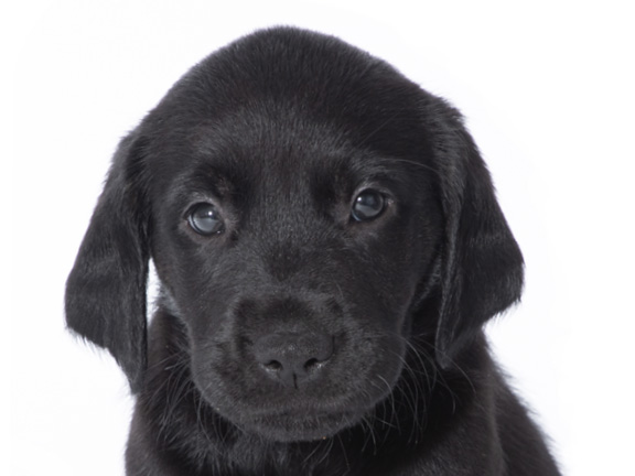 Headshot of guide dog puppy Niko a black golden retriever Labrador cross