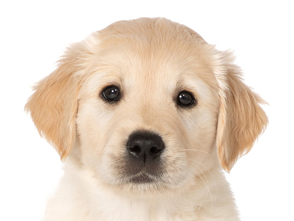 Headshot of guide dog puppy Kevin a Labrador/golden retriever