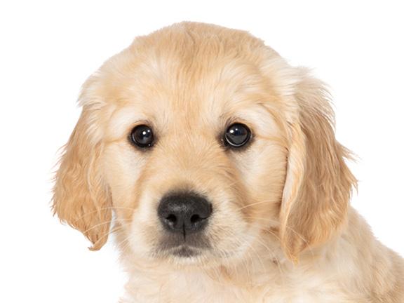 Headshot of guide dog puppy Pudding a golden retriever