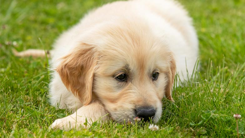 Bailey lying down in the grass