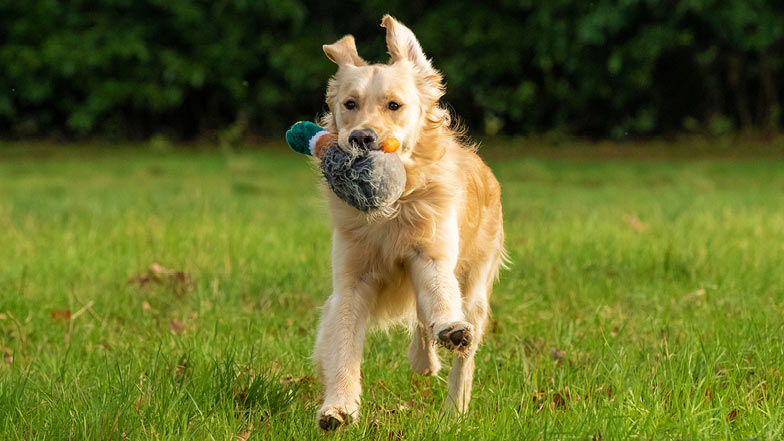 Bailey running with a toy in his mouth