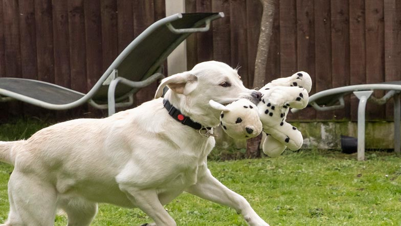 Eve free running in the garden with her dalmation toy