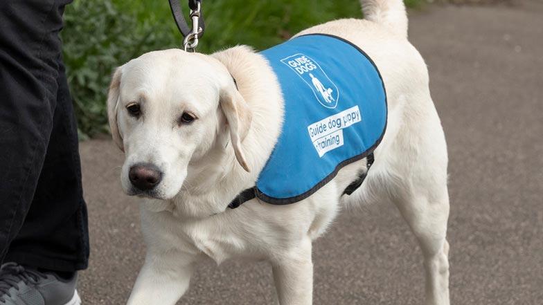 Eve walking in her bright blue puppy walking jacket
