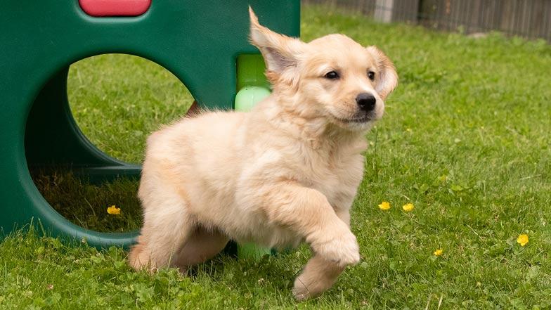 Ginger running through the grass