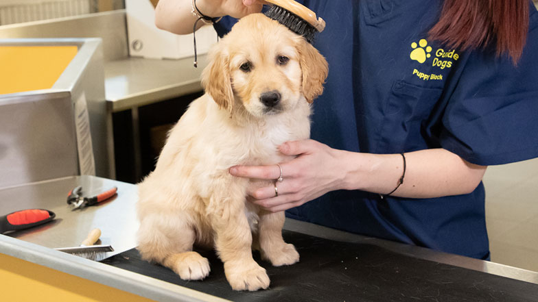 A Guide Dogs member of staff grooms Judy