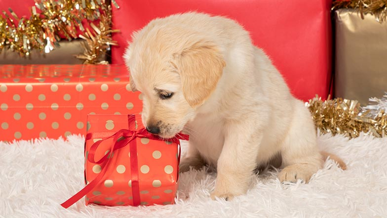 Kevin sniffing a Christmas present