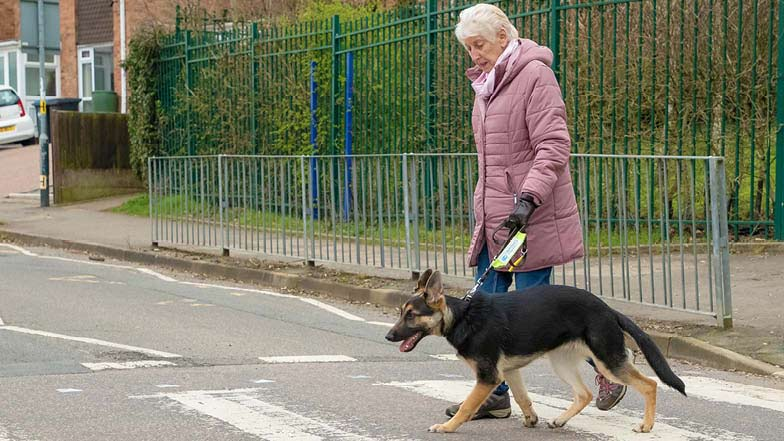 Lily and her Puppy Raiser walking along a zebra crossing