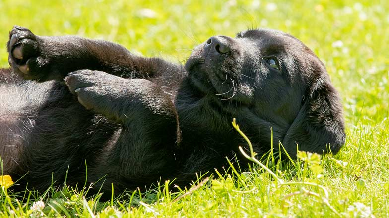 Marley laying on his back in the grass