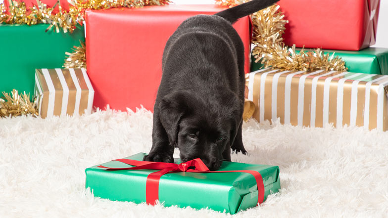 Marley sniffing a Christmas present
