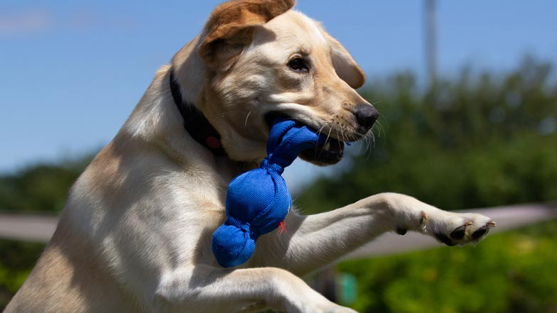 Poppy catching her blue kong toy in the air