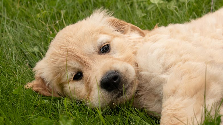 Pudding lying in the grass looking to camera